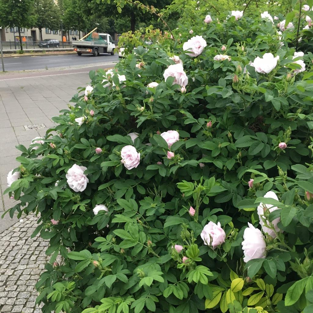 Blühende Heckenrosen