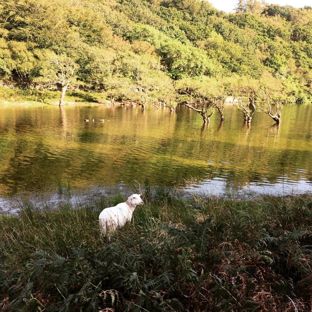 Schaf an See